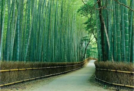 Foret de Bambou, au Japon