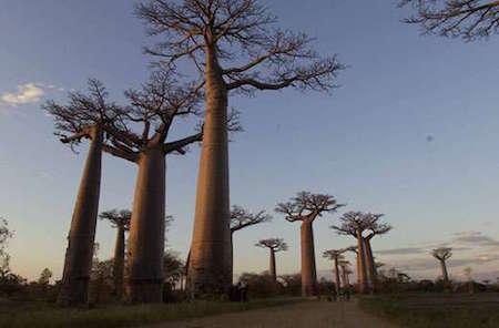 L'arbre de Baobab