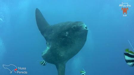 plongée sous marine bali rencontre les mola molas