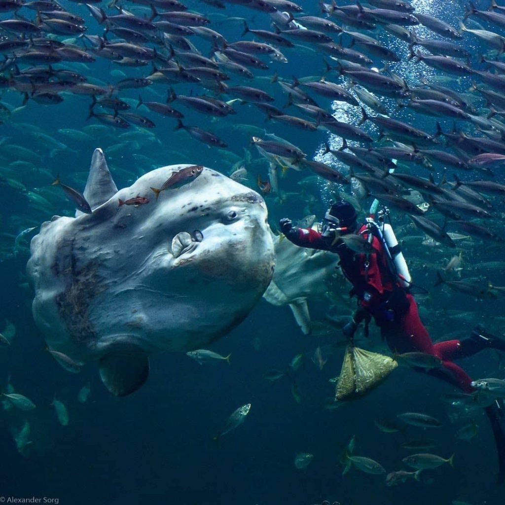 Mieux connaître la vie de Mola Mola Bali